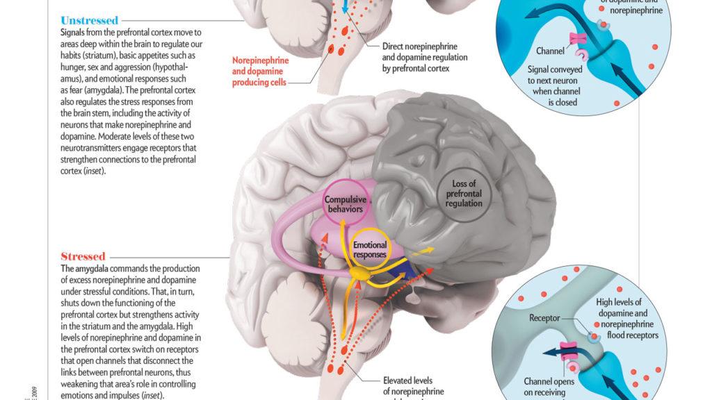 axs-studio-neurophysiology-stress-arnsten-scientific-illustration-021